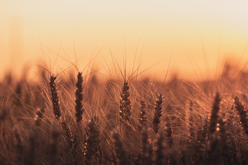 Wall Murals Meadow Wheat field at golden hour