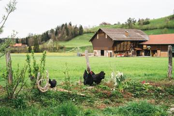 Free-range chicken at an organic farm
