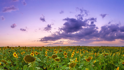 Fototapete - Summer landscape: beauty sunset over sunflowers field. Panoramic views. Agriculture