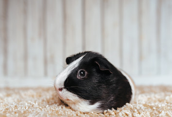 A guinea pig sits in the house and misses the owner. Portrait of a cute pet on a woolen and wooden background. Copy space, poster, advertisement. Thick and hungry pig. Beautiful picture.