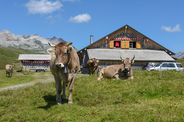 Grazing cows at Melchsee-Frutt in the Swiss alps