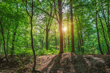 Wall Mural - Beautiful morning spring green forest