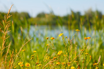 Blooming yellow flowers in the beside a lake in summertime. Beautiful nature - wild yellow flowers in the summertime grass.