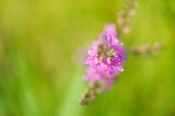 Blooming violet flower in meadow in summertime. Beautiful nature - wild violet flower in the grass. Blurred background.