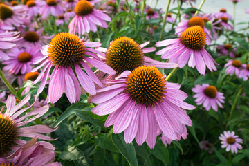 Echinacea flowers in a park