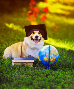 funny puppy Corgi dogs sitting in the garden in the green grass with books and a globe in a black student cap Confederate