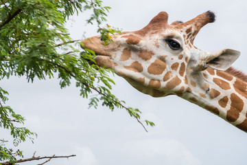 Giraffe eating from bush in the Zoo