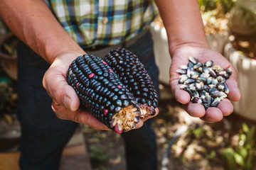 Mexican Corn, maize dried blue corn cobs on mexican hands in Mexico Fototapete