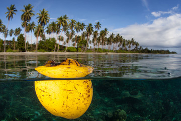 Wall Mural - A coconut husk floats at the surface just off a beach on Guadalcanal in the Solomon Islands. This remote, tropical area is known for its extraordinary marine biodiversity.