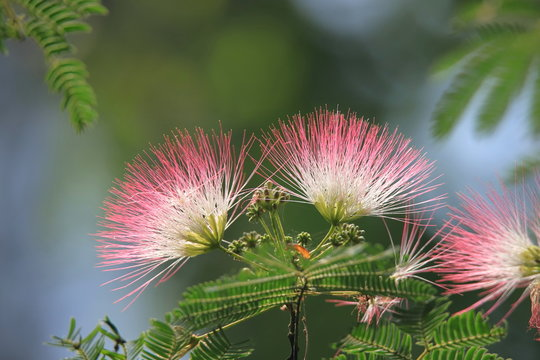 合歓の木の花 Persian silk tree