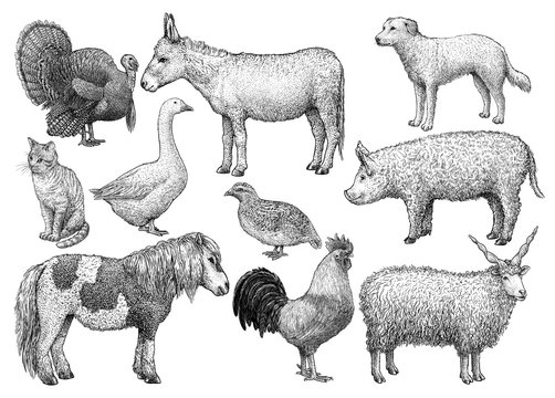 Farm animal collection, illustration, drawing, engraving, ink, line art, vector