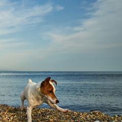 Dog by the sea. The dog plays and jumps on the seashore.