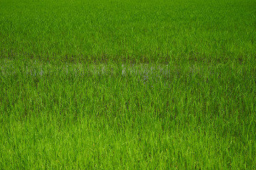 Rice field. Young rice shoots. Sprouted Rice. Sprouted Fig.