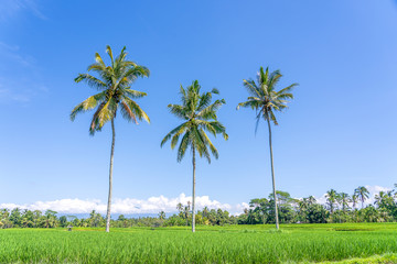 Three coconut palm trees on green rice terraces near Ubud in island Bali, Indonesia