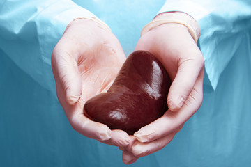 kidney transplant surgery concept. real kidney is in hands of transplant surgeon. cadaver, donor kidney. International Kidney Day Holiday.
