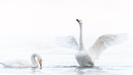 two whooper swan lovers dancing in a white fog background portrait