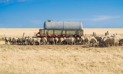 Klimawandel Wassermangel Schafe auf trockener Weide mit Wassertank - Climate change Lack of water Sheep on dry pasture with water tank