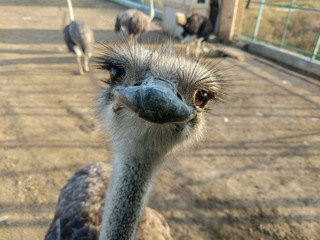 Funny ostriches on an ostrich farm