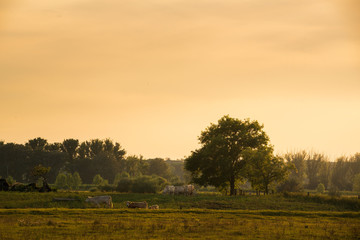 Wall Mural - Cows on pasture at sunset