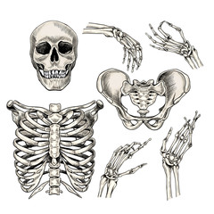 Hand drawn anatomy set. Vector human body parts, bones. Skull, hands, rib cage or chest, pelvic bones. Vintage medicinal illustration. Use for Haloween poster, medical atlas, science realistic image.