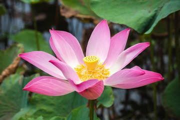 Wall Mural - Bright pink lotus or waterlily flower