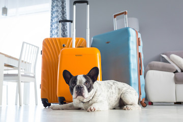 French bulldog waiting at packed travel baggages