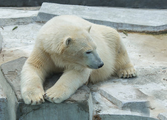 Polar bear.  Polar bear is a typical inhabitant of the Arctic. The polar bear is the largest member of the entire Carnivora.