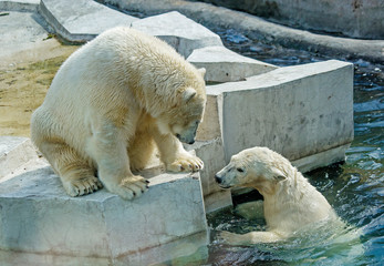 Polar bear. The two grown-up cubs.  Polar bear is a typical inhabitant of the Arctic. The polar bear is the largest member of the entire Carnivora.