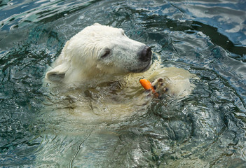 Polar bear swims in the water.  Polar bear is a typical inhabitant of the Arctic. The polar bear is the largest member of the entire Carnivora.