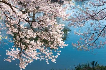 水辺の桜 / Sakura