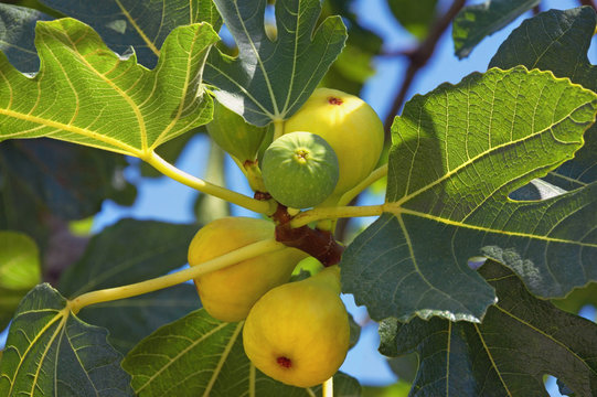 Autumn. Branch of  fig tree ( Ficus carica ) with leaves and bright fruits
