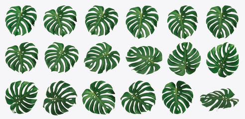 Isolated Monstera leaf set, Monstera Deliciousa leaves, shaped like a heart, is a tropical tree that can be grown indoors, Summer and spring concept, High quality image.