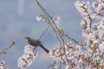 ヒヨドリと桜 / Sakura and bird