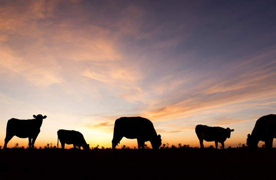 Silhouetted cattle grazing in a field at sunset.