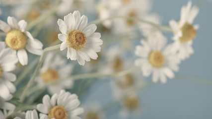 Сhamomile (Matricaria recutita), blooming spring flowers on gray background, closeup, selective focus, with space for text
