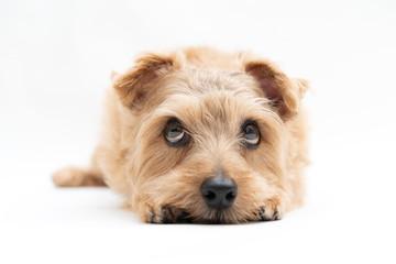 上を見るノーフォークテリア 犬