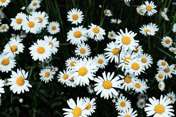 Margerite (Leucanthemum vulgare) Blütezeit: Mai - Oktober