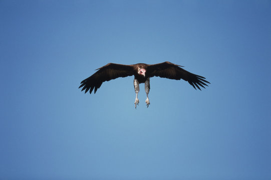 Kenya, Maasai Mara National Reserve, Lappet-faced Vulture(Torgos tracheliotos) landing at kill site