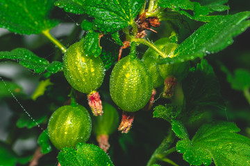 Small green gooseberries still on the plant covered by water drops