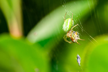 Nice green spider with dots on body sitting on his web