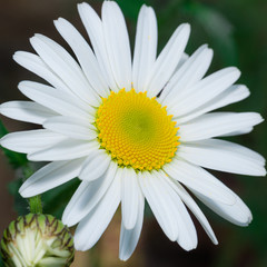Detail of daisy bloom with pure white leaves and golden center