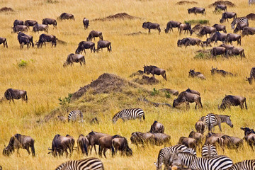 Crossing of the Mara River by Zebras and Wildebeest, migrating in the Maasai Mara Kenya.  Fototapete