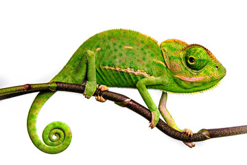 Photo sur Aluminium Cameleon cute funny chameleon - Chamaeleo calyptratus on a branch