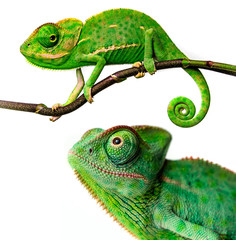 Wall Mural - cute funny chameleon - Chamaeleo calyptratus on a branch