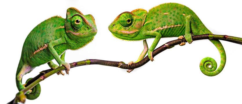green chameleon - Chamaeleo calyptratus