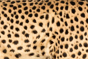 Africa, Namibia, Keetmanshoop. Close-up view of cheetah fur.