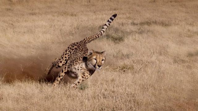 Namibia. Cheetah running at the Cheetah Conservation Foundation.