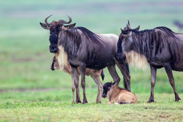 Fototapeta Wildebeest parents with two recently born calves, one standing and one lying beneath them, Close-up view, unfocused greenish background, Ngorongoro Conservation Area, Tanzania