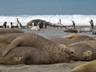 UK Territory, South Georgia Island, St. Andrews Bay. Bull elephant seal mates with one of his harem females on beach.