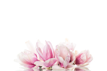 Photo sur Aluminium Magnolia spring beautiful blooming magnolia on a white